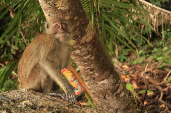 Los animales también sufren la basura (Monkey Beach, en Phi Phi Don).