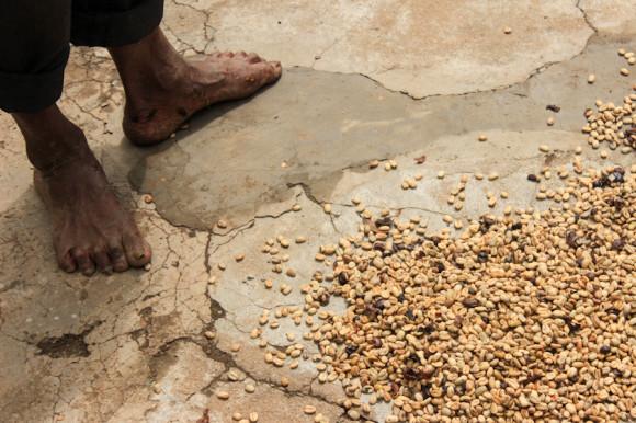 El café forma parte del proyecto de plantación de 2.000 árboles que se llevó a cabo en 2011 y que se espera para 2016 brinden autosustentación a Karuna.