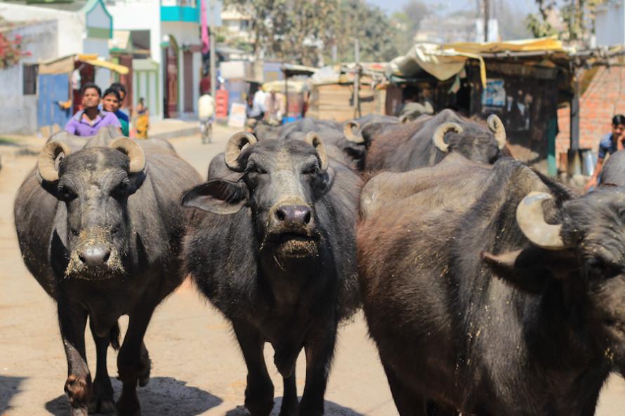 Hasta las vacas transitan  amontonadas.