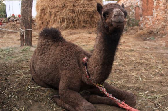 """Hay hasta un pequeño """"bebé camello"""" y una de las delicias es probar los tés que se hacen con la leche de su madre."""