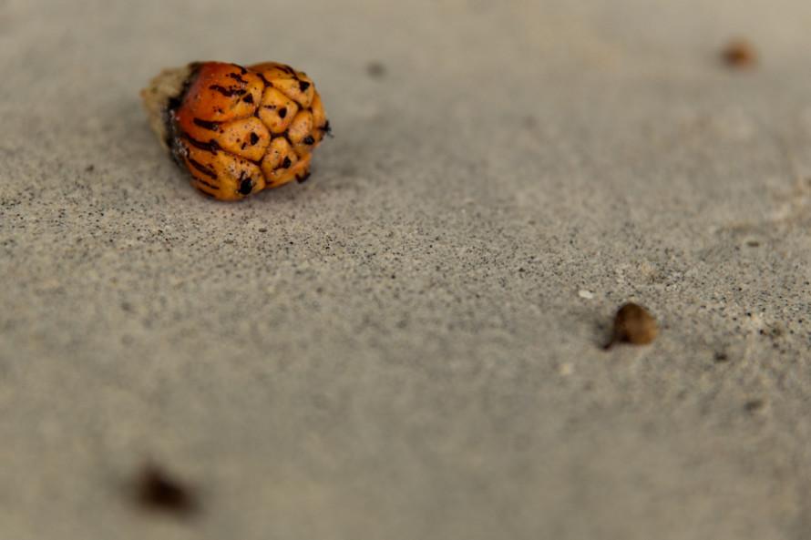 En una caminata por la playa uno se encuentra con varios tipos de semillas caídas desde los árboles...