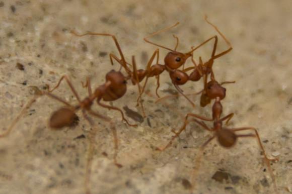 Estas hormigas malditas, en cambio, son súper agresivas. (Nótese cómo la tercera empezando de la izquierda le atenaza el cuello a su amiga. ¡Y eso que está panza arriba!).