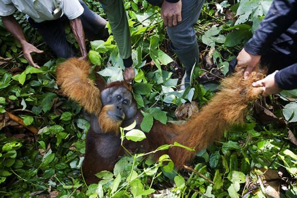 Un orangután es sedado por un equipo de especialistas que luego lo reinsertaran en otro hábitat.