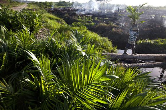 Un hombre traslada una pequeña planta como parte de la transformación de un bosque tropical. (Foto: Paul Hilton)