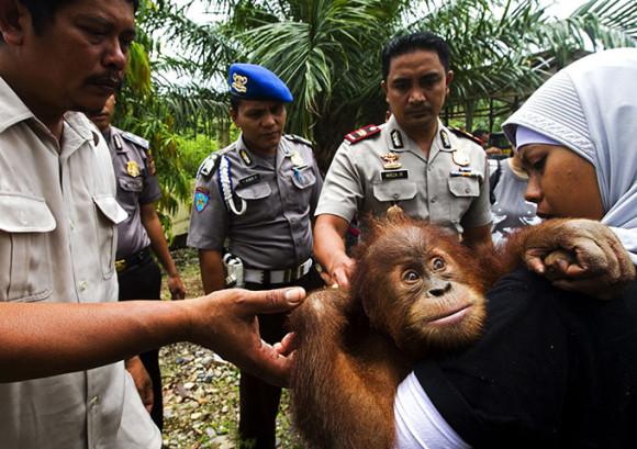 La cara de miedo de un bebé orangután cuando un equipo de salvataje lo rescata del cautiverio. (Foto: Paul Hilton)