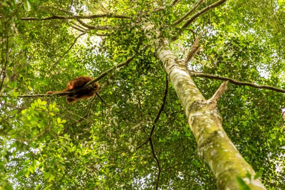 Los orangutanes viven arriba de los árboles.