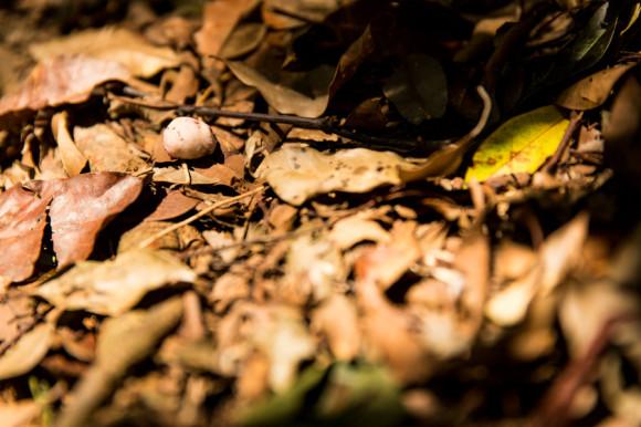 Una de las frutas que comen los orangutanes y cuyos carozos tiran al piso.