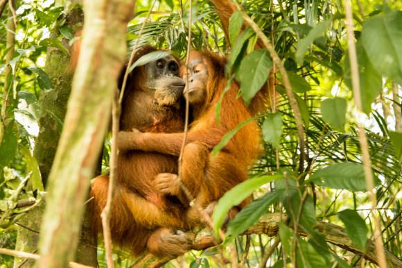 Mimosos, cariñosos y muy tiernos, así son los orangutanes.