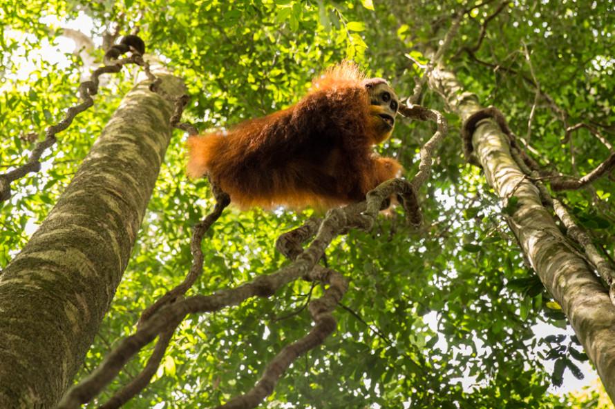 Un orangután macho salvaje, en peligro crítico de extinción.