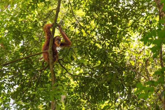 """""""Todo bien"""", parece decir el orangután en lenguaje de buzo."""