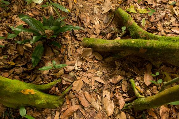 Hay que chequear también las raíces, lianas y troncos traicioneros. Nótese y destáquese que este trekking es havaiana unfriendly.