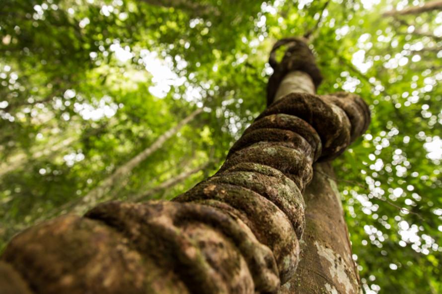 Hay mas de 4000 clases distintas de plantas. Y tambien lianas gigantes!