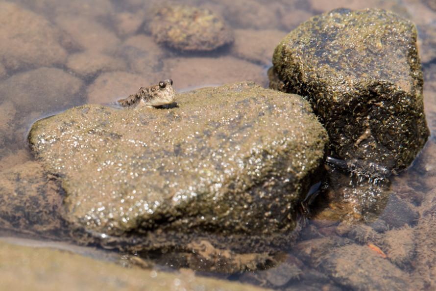Y éstos saltan de piedra en piedra, alternando entre la tierra y el agua.