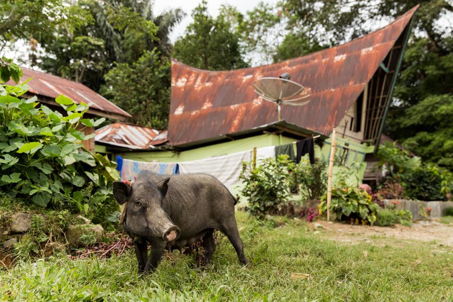 De entre las especies que sobrevivieron en Samosir se ven muchos cerdos...