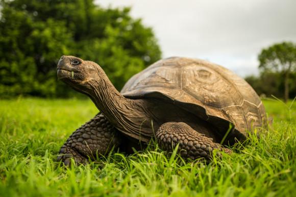 Y también las tortugas gigantes, que llegan a pesar 400 KG, medir 1,87 m y vivir más de 100 años.
